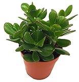 Geldbaum, (Crassula ovata), pflegeleichte Zimmerpflanze, Kübelpflanze, Sukkulente (im 10cm Topf,...