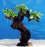 Dennerle Urwaldbaum Mbuna GROß mit Anubia nana