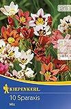 Kiepenkerl Blumenzwiebel Sparaxis | mehrjährig | bunte Blütenpracht | 10er Knollen-Set