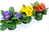 Frühlingsblumen Set 12, 3 Primeln, Primula acaulis Pflanzen