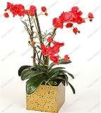 Seltene Orchideen Bonsai Balkon Blumen-blaue Schmetterlings-Orchidee Samen Schöner Garten...