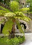 TROPICA - Australischer Baumfarn ( Cyathea australis ) -200 Sporen inklusive Kultursubstrat