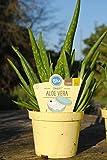 BIO- Aloe vera 'Sweet'