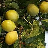 Müllers Grüner Garten Shop Pflaumenbaum Lippische Eierpflaume gelb süß würzig Busch 150-170 cm...