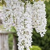 Weißer Chinesicher Blauregen - Wisteria sinensis 'Alba' Kletterpflanze mit großen weißen...