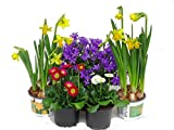 Frühlings Balkonpflanzen-Set für Balkonkästen ab 40 cm Länge 5 Pflanzen