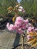 Japanische Nelkenkirsche Kanzan 125-150 cm Busch für Sonne Zierstrauch rosa blühend Gartenpflanze...