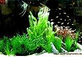Mühlan - Wasserpflanzen Mittelgrundmix, 4 Bund Aquarienpflanzen + 4 Wasserpflanzentöpfe inkl....