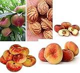 3x Plattpfirsich Pfirsich Tellerpfirsich Obst süß lecker frisches Saatgut Garten Obstsamen Samen...