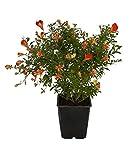 Pflanzenservice Zwerg-Granatapfel, sommergrüner Strauch, Kübelpflanzen, 2 Pflanzen im 11 cm Topf,...