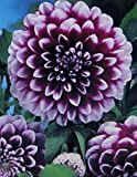 Schmuck Dahlie Edinburgh Knolle Blumenzwiebeln (1)