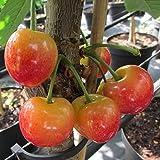 Kirsche Busch-Baum Büttners Rote Knorpelkirsche süß-leicht säuerlich 120-150 cm gelb-rotes Obst...