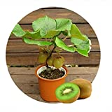 LUFA 100 teile / beutel Kiwis Obst Samen Actinidia Chinensis Köstlichen Garten Früchte Samen
