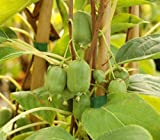 Dehner Kiwi Issai, essbare grüne Schale, ca. 50-70 cm, Obstpflanze