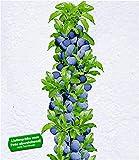 BALDUR-Garten Säulen-Zwetschgen 'Anja', Pflaumenbaum 1 Pflanze, Prunus domestica