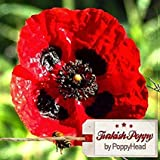 Ricks-Seeds - 250 Papaver Somniferum 'Turkish Poppy' - DAS ORIGINAL!