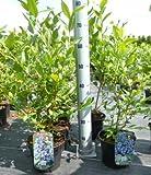 Heidelbeeren Pflanze, Trauben Heidelbeere Vaccinium corymbosum, ca. 60cm im Topf gewachsen, sehr...