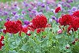 Mohn, Schlafmohn 'Rot Paeony' 50 Samen - Papaver somniferum (Poppy Red Peony) …