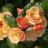 Kletterrose Moonlight in Kupfer-Gelb - Rosa - Kletter-Rose winterhart & duftend - Pflanze für...
