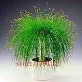 Echt chinesischen Seltene Gynostemma Samen Medizin Herb Pflanze Pentaphyllum Sementes Hof Bonsai...