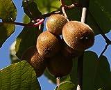 Jenny Kiwi selbstfruchtbar, Kiwistrauch Busch, Actinidia arguta, Obstbaum winterhart, Kiwi braun, im...