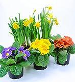Frühlingsblumen Set 13, 3 Primeln & 2 Narzissen