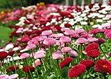Gänseblümchen - Bellis Pomponette Mix - Bellis perennis - Blume - 200 Samen