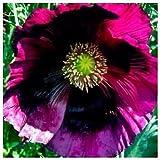 Papaver Somniferum 'Pepperbox Opium' - 250 Samen - PremiumPoppySeeds