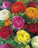Ranunkeln gefüllte bunte Mischung (50 Blumenzwiebeln)