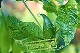 Köstliche Inka Gurke Winterhart Cyclanthera pedata Frische Baumschul Qualität