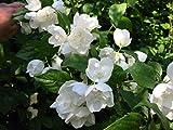 5 Stück Philadelphus 'Schneesturm' * (Gefüllter Gartenjasmin Schneesturm) Blütenpflanze,...