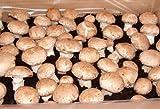 BIO Steinchampi braun Pilzzucht 10 kg Fertigkultur Pilzbrut