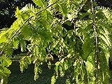 2x, Redwood, Metasequoia glyptostroboides, 15–20cm, verschiedene Farben, 8cm, Bronze-/Laub,...