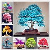 Baumsamen 20 Ahornsamen Bonsai blau Pflanzen Samen Balkon Ahorn Japanischer Ahorn-Baum für Mix...