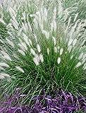 5 x Pennisetum alopecuroides 1 Liter (Ziergras/Gräser/Stauden) Lampenputzergras ab 3,19 pro Stück