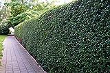 Liguster Atrovirens Heckenpflanzen 50-80 cm hoch 4-5 Triebe im Rabatt-Paket-Liguster Atrovirens...