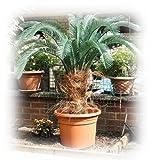 Exklusive CYCAS Superior Outdoorpalme ca. 120/130 cm, wetterfeste Kunstpalme für den geschützten...
