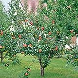 Apfel Gravensteiner® Busch, 1 Pflanze
