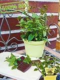 Englische Schoko-Minze Mentha x piperita Frische Baumschul Qualität Gartenkräuter