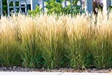 Garten-Reitgras 'Karl Foerster' - Calamagrostis x acutiflora - als Hecke, Struktur-Pflanze,...