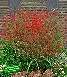 BALDUR-Garten Rotes Liebesgras, 3 Pflanzen Eragrostis spectabilis
