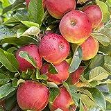 Malus domesica 'Elstar' Apfelbaum als Terrassen Obst ca. 40cm Stammhöhe