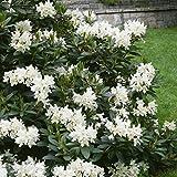 Pflanzenservice Rhododendron 'Cunninghams White', 1 Pflanze, 20 - 30 cm hoch, 2 Liter Container,...