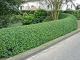 Gewöhnliche Liguster -Ligustrum vulgare- 200 Samen ''Tolle Heckenpflanze''