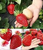 RIESENERDBEEREN - Die größte Erdbeere der Welt Giant - ca. 100 Samen