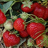 Erdbeere 'Sengana Selektion' von Hummi - 12 Pflanzen in 7 cm Töpfen - stark wachsende...