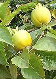 TROPICA - Kakibaum / Kakipflaume (Diospyros kaki) - 10 Samen