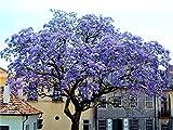 Paulownia Shan Tong Blauglockenbaum Enormer Wuchs bis 2 Meter pro Jahr Frosthart bis -23 Grad...