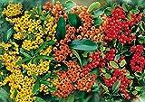 Feuerdorn Mischung Rot, Gelb und Orange – 3 immergrüne Pflanzen als Sichtschutz-Hecke -...