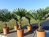 M Trachycarpus fortunei 80 - 100 cm, Hanfpalme, plus gratis Zitrone Bonsai!